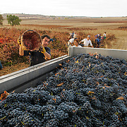 Wine Harvest, Garc&iacute;a Figuero Winery, La Horra, Burgos, Rivera del Duero, Spain.<br />