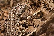 Female sand lizard (Lacerta agilis) on heathland border. Isle of Purbeck, Dorset, UK.
