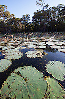 LILYPADS GROWING IN WATER