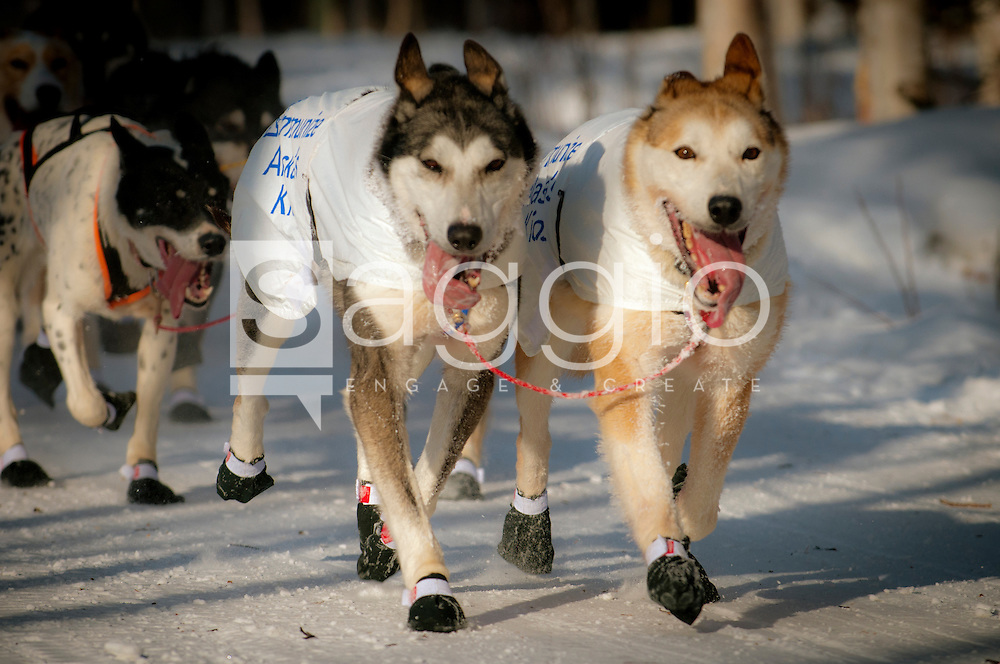 The lead dogs of Ray Redington Jr. trot along the Chester Creek Trail during the 2011 Iditarod Ceremonial Start.