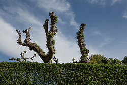 Pruned trees behind a hedge in East Hampton, NY