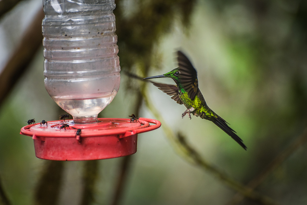A Western-Emerald approaches a feeder in flight, Santa Lucia Cloud Forest, Ecuador.
