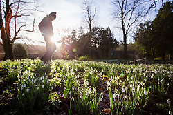 © Licensed to London News Pictures 28/01/2016, Cheltenham, UK. Head gardener Chris Horsefall prepares Colesbourne Park's Snowdrop collection, near Cheltenham, UK. The Park opens its doors to the public this weekend January 30th. The Park contains over 250 rare and unusual varieties of snowdrop and is considered to be England's greatest snowdrop garden.