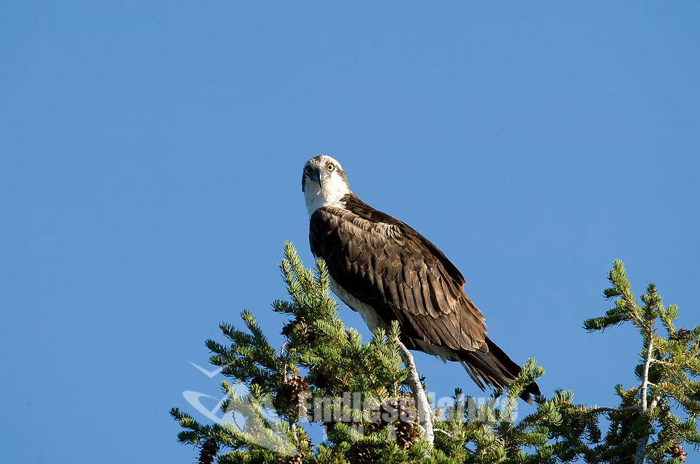 An Osprey a large fishing hawk sits in the top of a pine tree watching the river below for signs of fish.