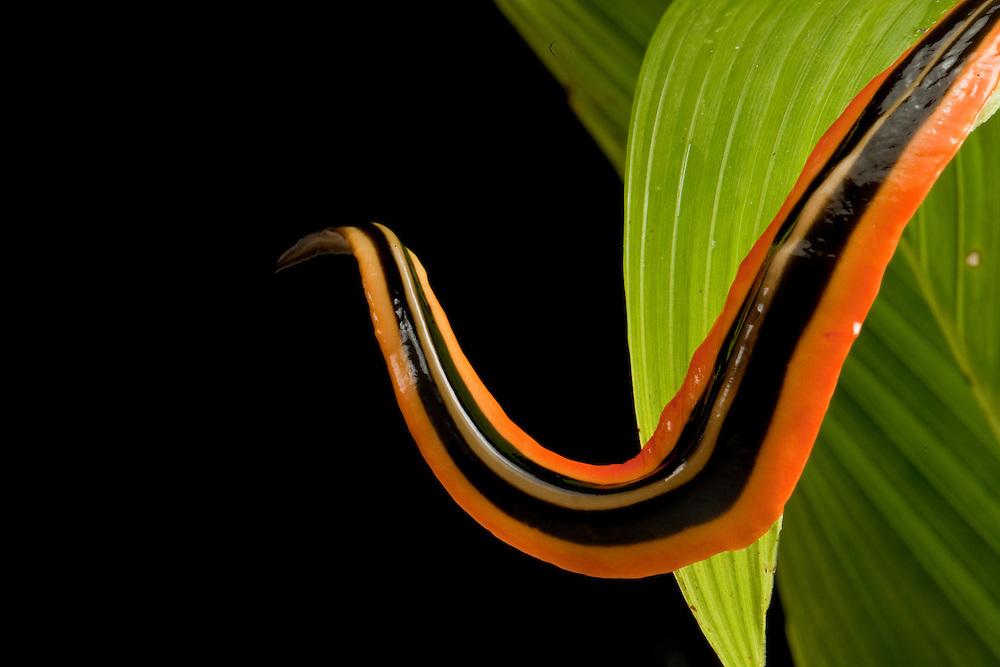 A colorful orange and black slug in the Choco Rainforest of Colombia