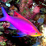 Purple Anthias inhabit reefs. Picture taken Raja Ampat, Indonesia.