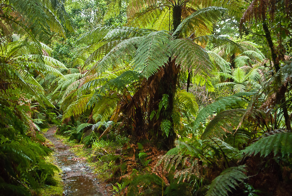 Giant tree ferns line the Milford Track as it passes through the Arthur Valley alongside Lake Ada, Fiordland, New Zealand