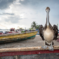 A pelican sits on a boat in in Old Harbour Bay, Jamaica