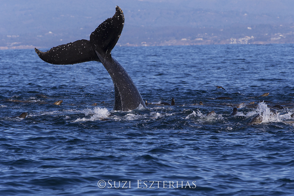 Humpback Whale<br /> Megaptera novaeangliae<br /> Lobtailing while feeding on anchovy with California sea lions (Zalophus californianus)<br /> Monterey Bay, California