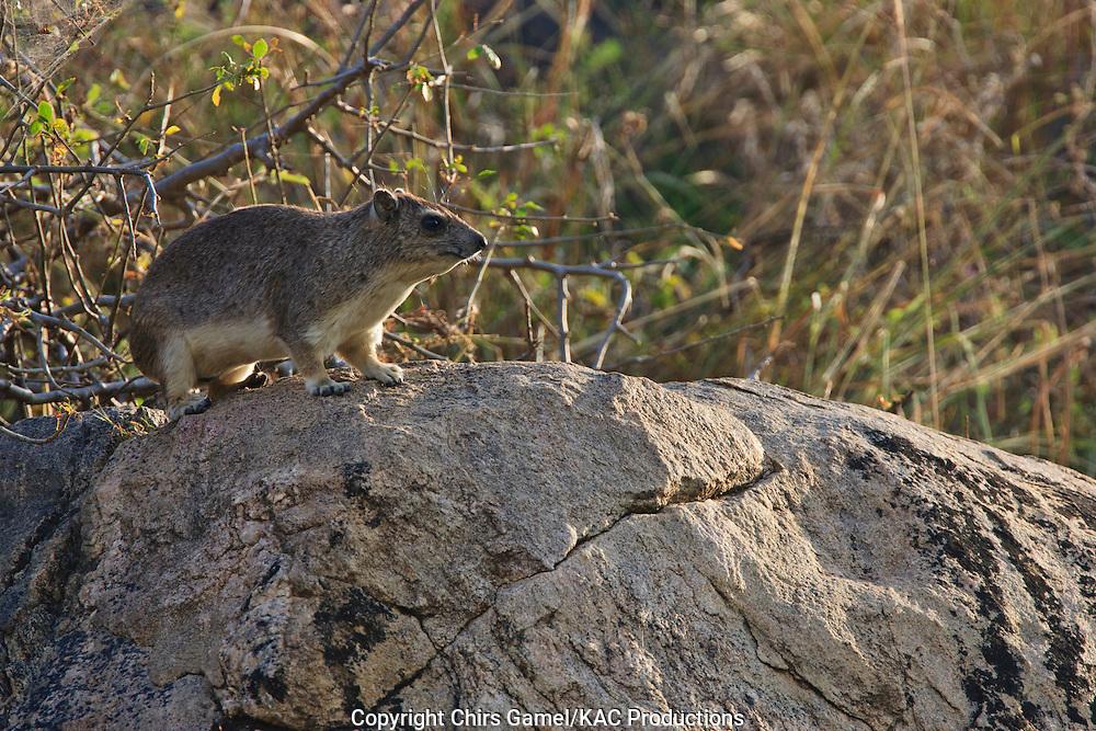 Rock hyrax standing on a rock.