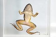 Tyrrhenian Painted Frog (Discoglossus sardus), Sardinia, Italy | Sardischen Scheibenzüngler (Discoglossus sardus) gefangen. Er ist an der Pilzinfektion Chytridiomykose erkrankt ist. Durch den starken Befall mit dem Erreger Batrachochytrium dendrobatidis sind die Finger der Vordergliedmaße verkümmert.