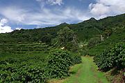 Finca Lerida, organic coffee farm, Boquete, Chiriqui, Panama, Central America