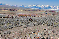 Gathering cattle, branding, Hamm Ranch, Rodie Keyes, Wilsall, MT, Bridger Mountains