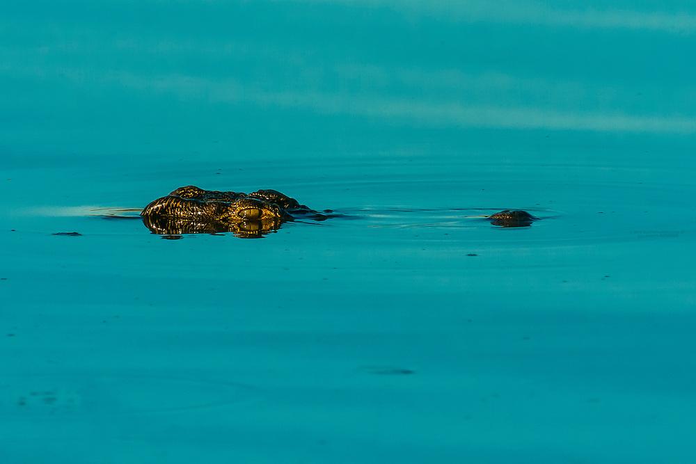 Nile crocodile, near Kwara Camp, Okavango Delta, Botswana.