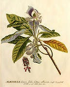Coloured Copperplate engraving of a Magnolia tree from hortus nitidissimus by Christoph Jakob Trew (Nuremberg 1750-1792)