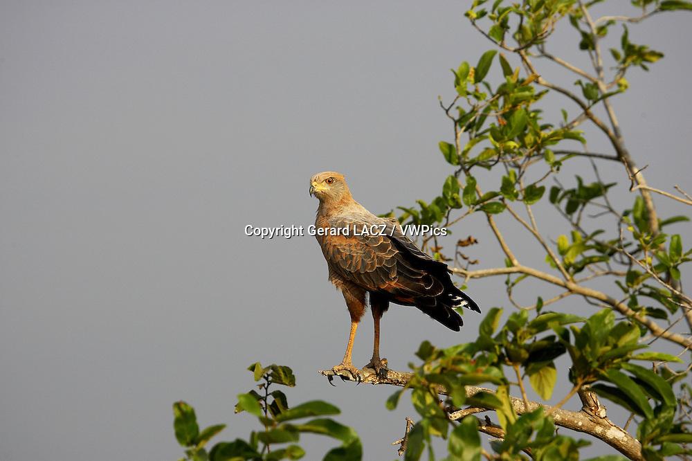 Savanna Hawk, buteogallus meridionalis, Los Lianos in Venezuela