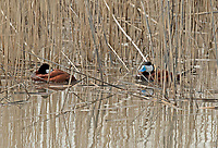 Male Ruddy Ducks resting just inside the reed line on an April afternoon.