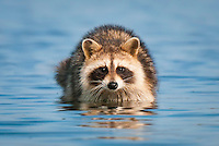 a raccoon works the shallows flats along the edge of a salt marsh in search of clams