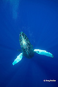 humpback whale, Megaptera novaeangliae, lone female,  Endangered Species, Kona, Hawaii ( Central Pacific Ocean )