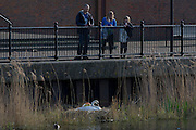Locals watch a female mute swan (pen) incubating her eggs on a nest in an urban water basin.