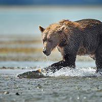 USA, Alaska, Katmai National Park, Coastal Brown Bear (Ursus arctos) chases spawning salmon across stream gravel bar by Kukak Bay