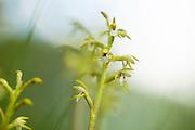 Orkideen korallrot, Corallorhiza trifida. yellow coralroot. Har lite klorofyll og mangler grønne blader, lever i symbiose med sopp. Relativt sjelden, og mest østlig utbredelse. Høydegrense 1300 m i Norge. Her fra vierkratt i fjellbjørkeskogen i Stugudal, Tydal i Sør-Trøndelag.