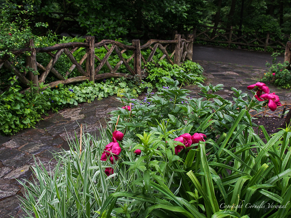 Flowers and a rustic fence at Shakespeare Garden in Central Park