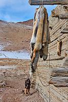 Mongolie, province de Bayan-Olgii, chasse à l'aigle royal, peaux de loup et de renard // Mongolia, Bayan-Olgii province, Kazakh eagle hunting, wolf's fur
