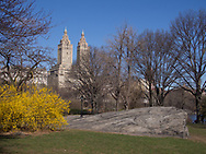 Forsythia blossoms and the San Remo towers, Central Park.