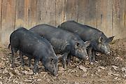 Pigs at Great Hopes Plantation, Colonial Williamsburg.