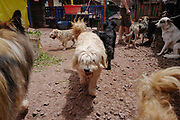 Rescued dogs roam about the grounds of the Soy Callejerito shelter in Cuzco, Peru.