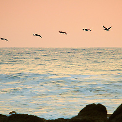 Brown Pelicans fly over the ocean surface in formation at sunset in Costa Rica.