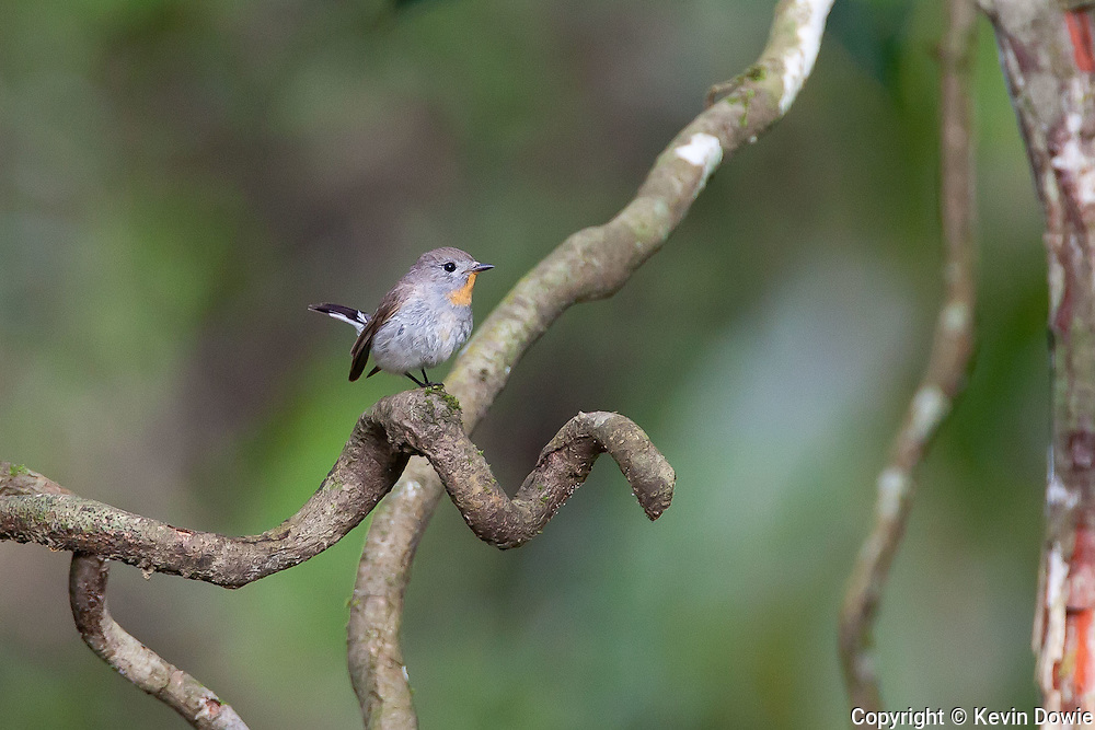 The taiga flycatcher or red-throated flycatcher (Ficedula albicilla) is a migratory bird. Breeding in North Eurasia from Eastern Russia to Siberia and Mongolia, it is a winter visitor to South and South-east Asia in the Indian Subcontinent and Southeast Asia.