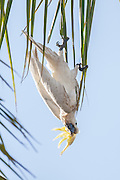"""Who needs monkey bars?  Every leaf, branch, tree is a monkey bar to me!""  A sulfur-crested cockatoo hangs upside down from a palm frond in Australia."