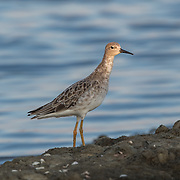 The ruff (Philomachus pugnax) is a medium-sized wading bird that is known to winter in Thailand.