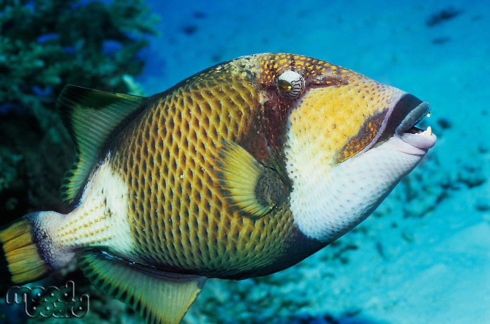 Parrot fish in ocean