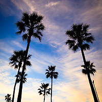 Palm trees at sunset with a colorful blue and orange sky  in Orange County California. Photo is vertical and high resolution.