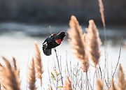 As this Red-winged Blackbird was busy singing in his territory, I liked the glow of the beautiful morning backlight.  Bombay Hook NWR