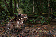 A large smooth-sided toad (Rhaebo guttatus) from the Potaro Plateau.
