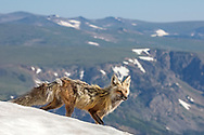Even in the heat of summer, you can always find snow in the Rocky Mountains, especially above 10,000 feet. Seeking relief from the sweltering temperatures today, this red fox spent a joyful 15 minutes rolling in one of the largest patches of snow she could find. After she cooled off, she moved down a mountain slope, in a spot much too steep for me to follow. As if knowing she would leave me behind, she gave me this parting glance before disappearing out of sight.