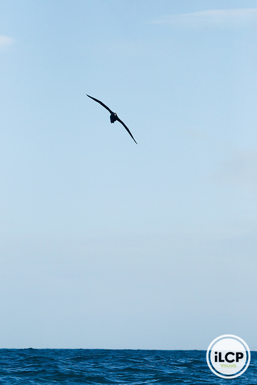 Northern Giant Petrel (Macronectes halli) gliding over ocean, Kaikoura, South Island, New Zealand