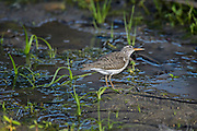 Photographs of Lesser Yellowlegs (Tringa flavipes)