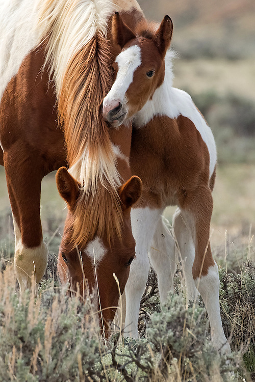 There's another new face at McCullough Peaks....a tiny colt for the mare, Weeleetka. Born in mid-April, this little fellow stuck close to his mom as she foraged on the range.