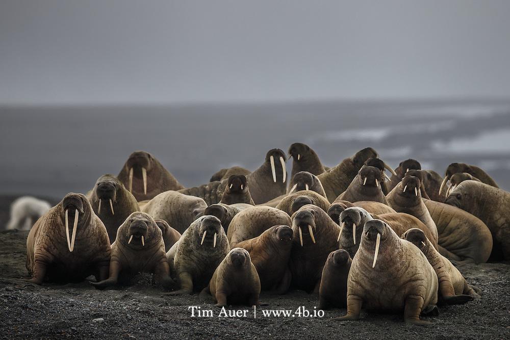 Walrus flee from a polar bear when it begins to wander away