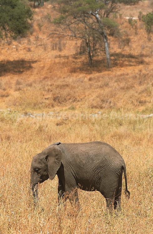 ELEPHANT, PARC NATIONAL DE TARANGIRE, TANZANIE