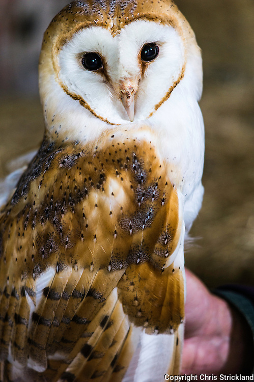 Raptor surveyor Malcolm Henderson handles a female Barn Owl while checking population levels.