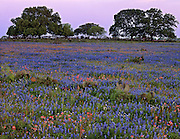 Field of Indian paintbrush (Castilleja indivisa), bluebonnets (Lupinus texensis), prickly pear (Opuntia sp.), and live oak trees (Quercus virginiana), Atascosa County, TX / #STX205