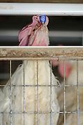 Hen in a battery in a chicken coop closeup