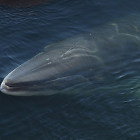 A Minke Whale just about to break the surface in the Ross Sea, Antarctica.