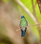 Glittering-Bellied Emerald (Chlorostilbon aureoventris) - Female, Mangueiras Ranch, Bairro da Ponte Nova, Itapira, S.P. Brazil (Photo; Isobel Springett),
